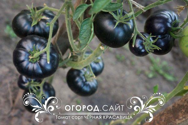 Томат Чёрная красавица