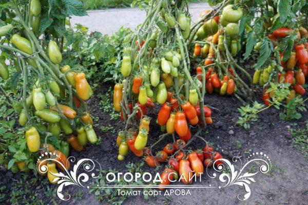 томат дрова фото урожайность характеристика