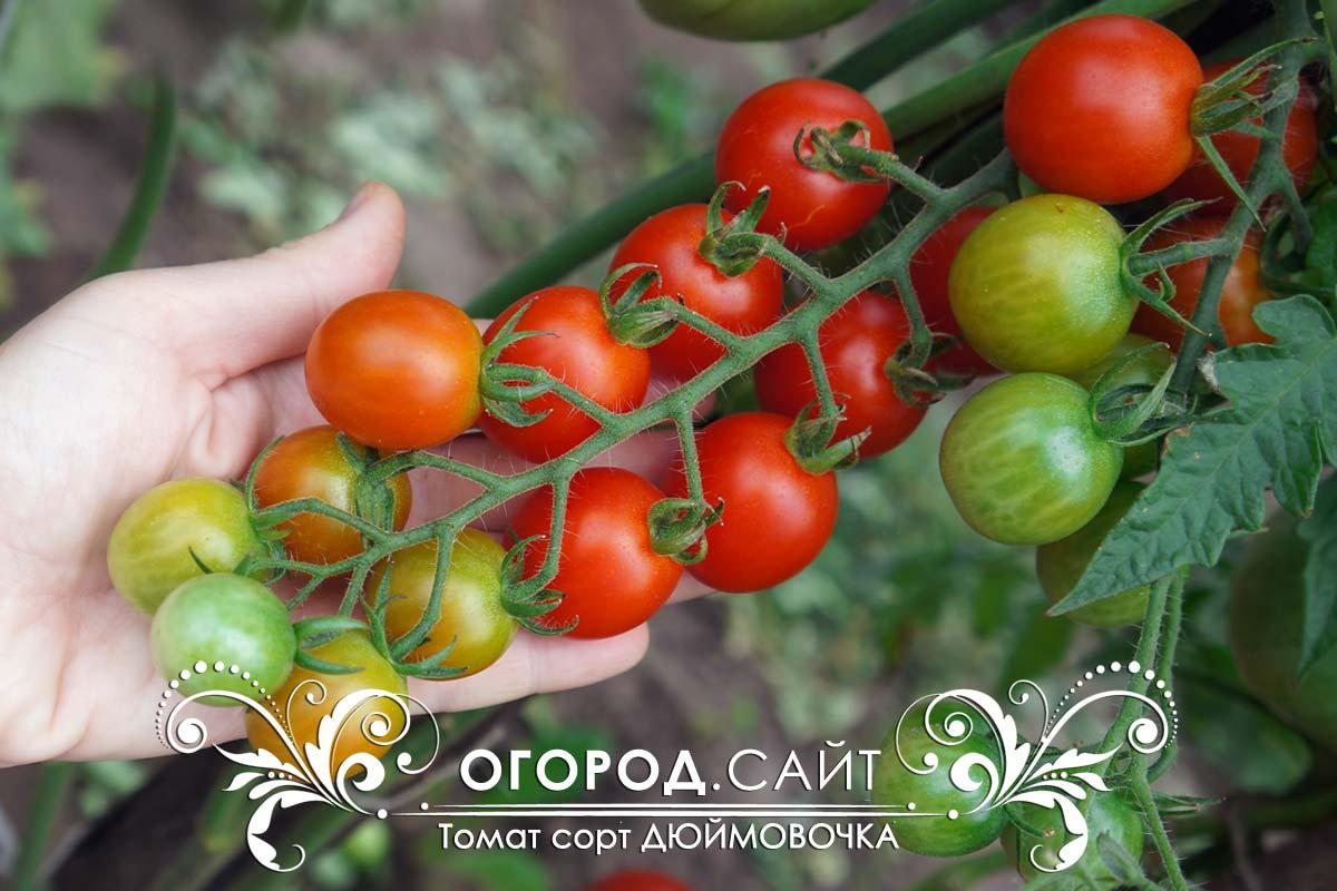 фото томатов дюймовочка этого раздела
