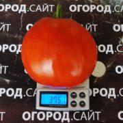 Томат Гусиное яйцо