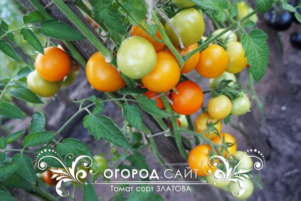 pomidor-zlatova-1