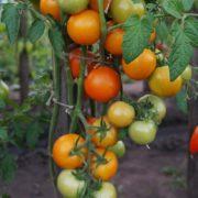 pomidor-zlatova-2