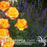 Розы и Лаванда узколистная