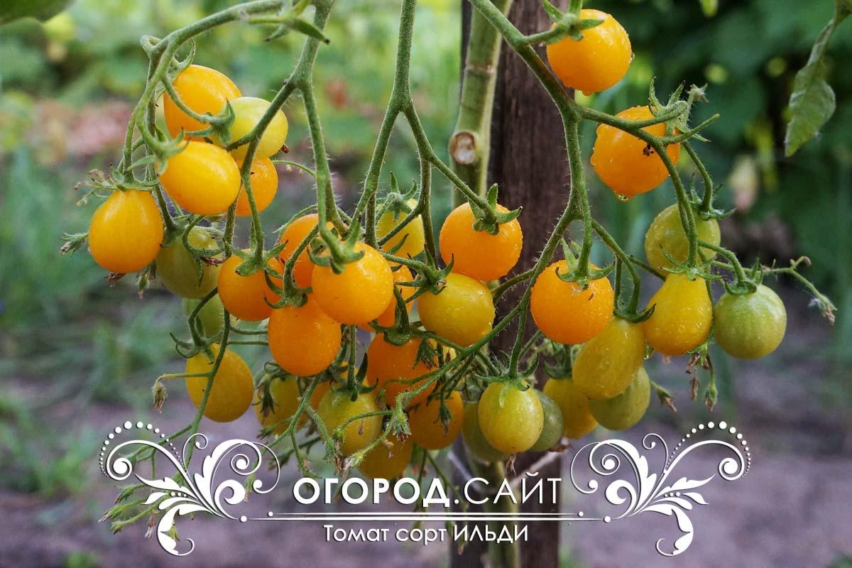 ильди томат отзывы фото картинки днем