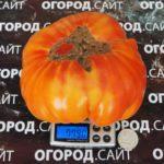 томат король ананас характеристика фото, ананас кинг