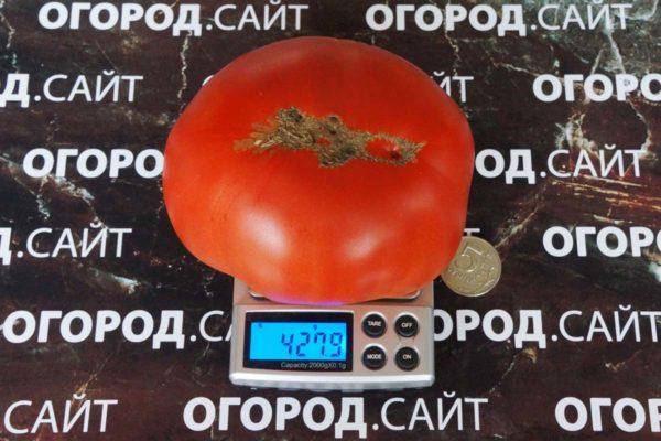 сорт помидор минусинские