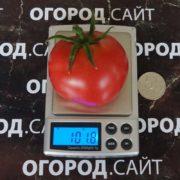 томат сызранская скороспелка характеристика сорта