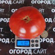 сызранские томаты фото