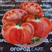 томат сорт сызранский