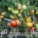 томатные гномы, серия томатный гном