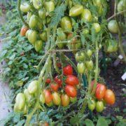 томат конфеты сладкие сосульки урожайность