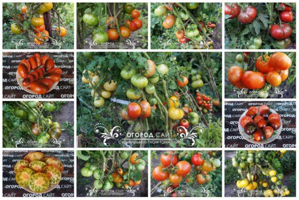 томаты серии гном томатный