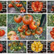 томаты тарасенко от коллекционеров