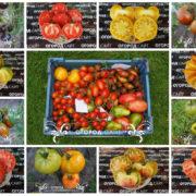 небольшая подборка лучших сортов по отзывам участников форума томат-помидор