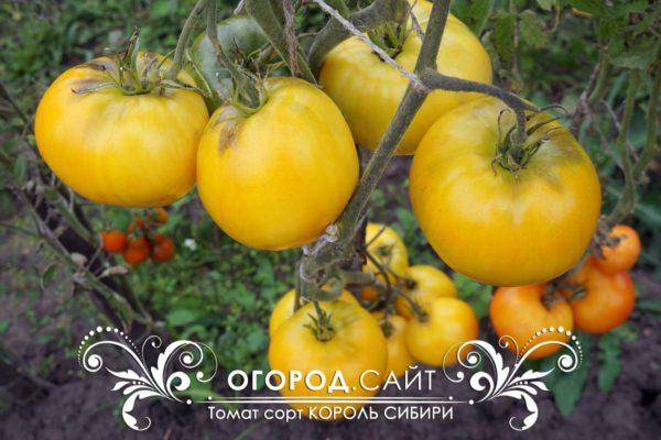 томат король сибири фото урожайность
