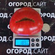 сорт томата абаканский розовый фото