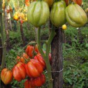 томат этуаль фото урожайность
