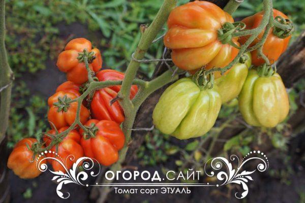 томат этуаль характеристика