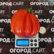томат этуаль фото
