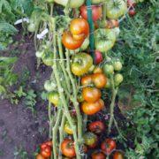 гном томатный медная голова