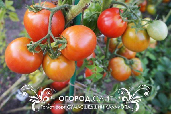 томаты от коллекционеров