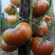 томат ворлон фото урожайность