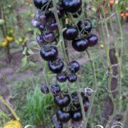 Томат Голубой лес
