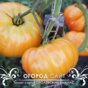 pomidor-korolevskiy-ananas-1