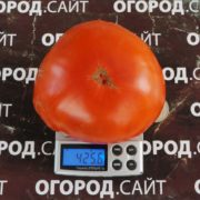 Яблочный минусинский красный