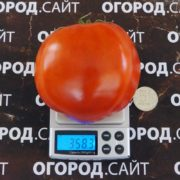 Томат Вареники