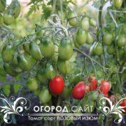 pomidor-rozovy-izyum-3