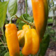 Перец сладкий Рамиро жёлтый