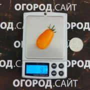 Томат Апельсиновая груша