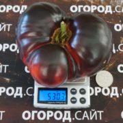 Томат Яблоко пурпурное
